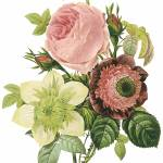 """Anemone, Rose and Clematis Botanical Art"" by ArtLoversOnline"