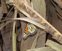 MONARCH BUTTERFLY #1