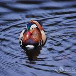 """Mandarin Duck 20131109_225a"" by Natureexploration"