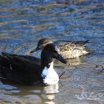"""Manky Mallard and Green Winged Teal 20131218_47a"" by Natureexploration"