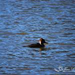 """Hooded Merganser Hen 20131218_87a"" by Natureexploration"