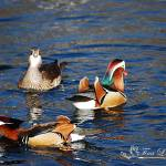 """Mandarin Ducks 20131218_206a"" by Natureexploration"