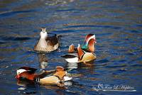 Mandarin Ducks 20131218_206a