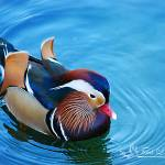 """Mandarin Duck 20131218_225a"" by Natureexploration"