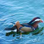 """Mandarin Duck 20131218_234a"" by Natureexploration"