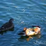 """Mandarin Ducks 20131218_243a"" by Natureexploration"
