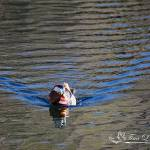 """Mandarin Duck 20131218_278a"" by Natureexploration"