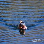 """Mandarin Duck 20131218_279a"" by Natureexploration"