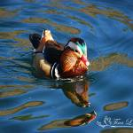 """Mandarin Duck 20131218_298a"" by Natureexploration"
