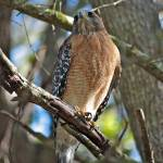 """Red-Shouldered Hawk on Branch"" by Groecar"