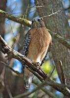 Red-Shouldered Hawk on Branch