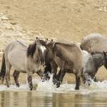 """Wild Spanish Horses at Watering Hole"" by wildlifegiftstore"