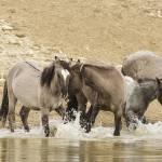 """Wild Spanish Horses at Watering Hole"" by wildlifegiftstore"