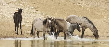 Wild Spanish Horses at Watering Hole