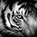 """""""Tiger Eye"""" by BethWold"""