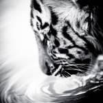 """Tiger Cub Drinking"" by BethWold"