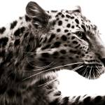 """Leopard I"" by BethWold"