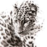 """""""Leopard VI"""" by BethWold"""