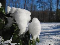 Snow on the Holly