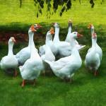 """Gaggle of Geese"" by susansartgallery"