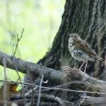 """Wood Thrush"" by WildAboutNaturePhotography"