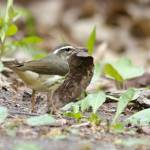 """Louisiana Waterthrush"" by WildAboutNaturePhotography"