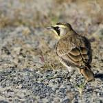 """Horned Lark"" by WildAboutNaturePhotography"
