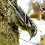 """Black-and-white Warbler"" by WildAboutNaturePhotography"