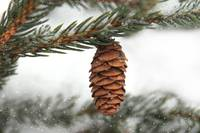 Pine cone in Winter