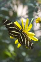 Black & White Butterfly On A Yellow Flower 4