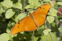 Orange Butterfly Fluttering Around 3
