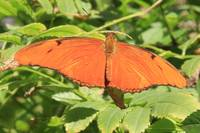 Orange Butterfly Fluttering Around 4