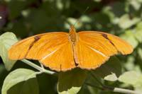 Orange Butterfly Fluttering Around 2