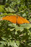 Orange Butterfly Fluttering Around