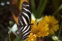 Black & White Butterfly On An Orange Flower 2