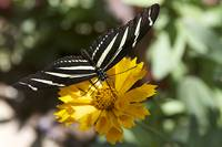 Black & White Butterfly On A Yellow Flower 1