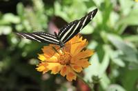 Black & White Butterfly On An Orange Flower