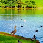 """Waokele Pond and Ducks"" by robertmeyerslussier"