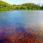 """Waokele Pond and Koi Study 7"" by robertmeyerslussier"