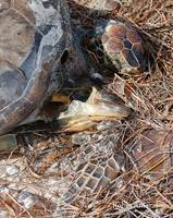 P13-02RA Sea Turtle Decay, Florida