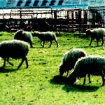 """Sheep Pen"" by Aesthete"