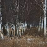 """""""Birch Tree Impressionism"""" by iocchelli"""