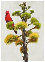 cardinal on yucca flower