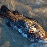 """""""P13-03RA Decaying Fish"""" by raBHA2014"""