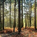 """Sunlit Trees on the Ashdown Forest"" by NatalieKinnear"