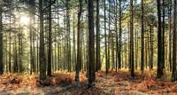 Sunlit Trees on the Ashdown Forest