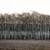 At the birch trees