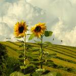 """""""Two Giant Sunflowers"""" by spadecaller"""
