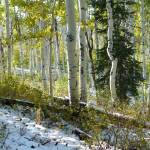"""""""Aspens with Pine in Snow"""" by BrianAShaw"""