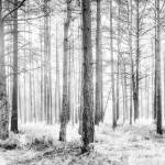 """Mystical Forest Trees in Black and White"" by NatalieKinnear"